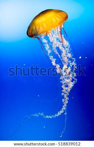 Yellow jellyfish in the sea.  #518839012