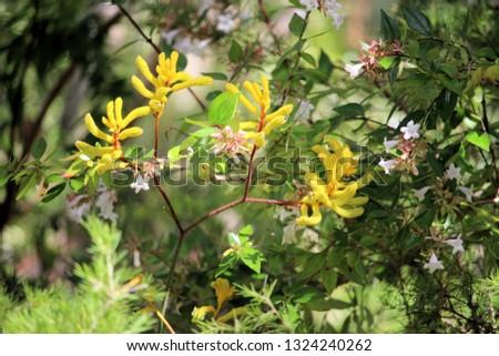 Yellow Kangaroo Paw