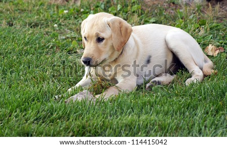 Yellow lab / golden retriever puppy chews on grass as she lays in the yard after some vigorous play - stock photo