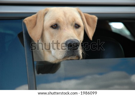 Yellow Lab in Car window
