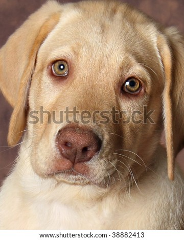 Yellow  Puppies on Three Yellow Lab Puppies In A Adorable Find Similar Images