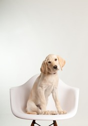 Yellow lab puppy sitting on white chair in studio