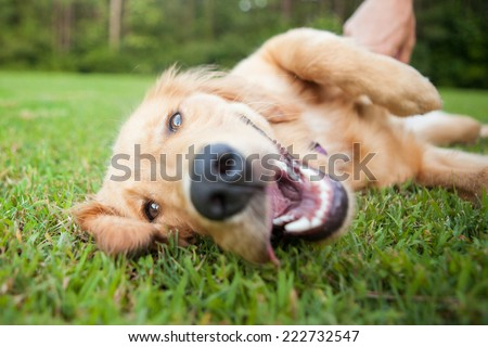 Yellow lab rolls over outside