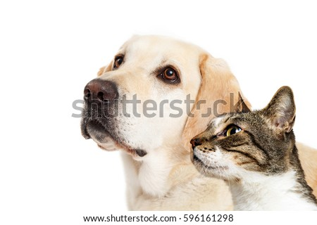 Yellow Labrador dog and cat together over white looking to side with room for text #596161298