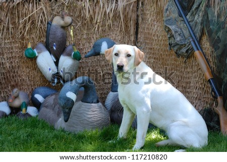 Yellow Labrador dog in a hunting blind