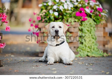 yellow labrador dog lying down in the park