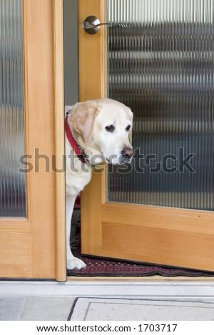 cão amarelo de Labrador que espera na porta