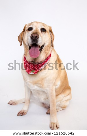 yellow labrador isolated on white
