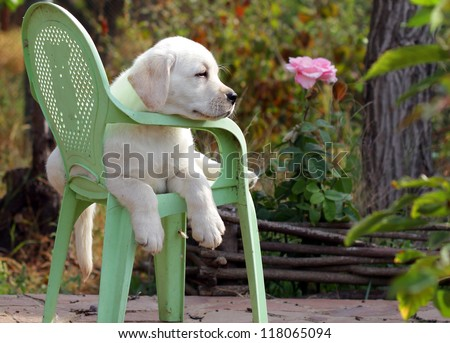 yellow labrador puppy in the garden sitting on an old green chair