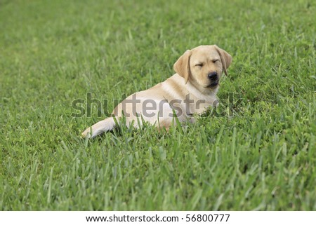 Yellow  Puppies on Yellow Labrador Puppy On Green Grass Lawn Stock Photo 56800777