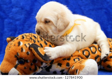 yellow labrador puppy on the toy tiger on blue background