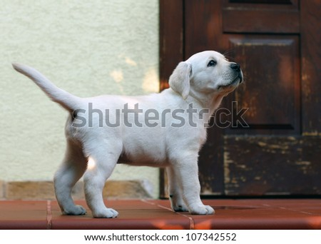 yellow labrador puppy standing at the red door
