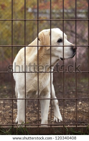 Yellow Labrador Retriever behind a fence