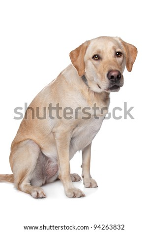 Yellow Labrador Retriever dog in front of a white background