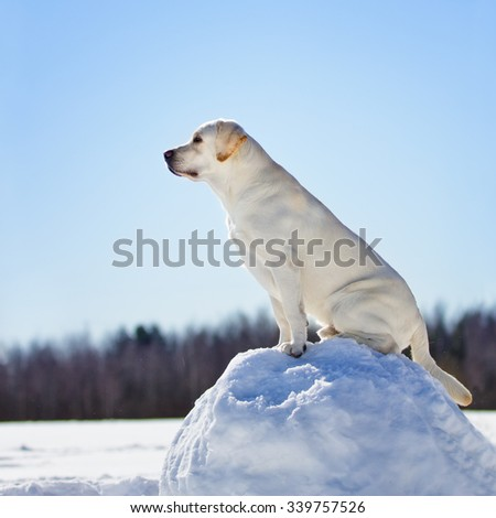 Yellow labrador retriever dog in winter forest walk outdoor on snow sitting on a snow ball