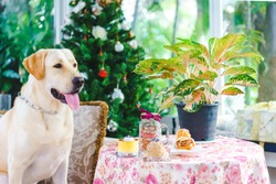 Yellow Labrador Retriever dog posing on a couch with treats on the table and a Christmas tree behind