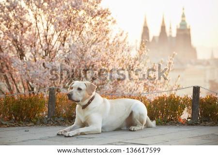 Yellow labrador retriever in park, Prague