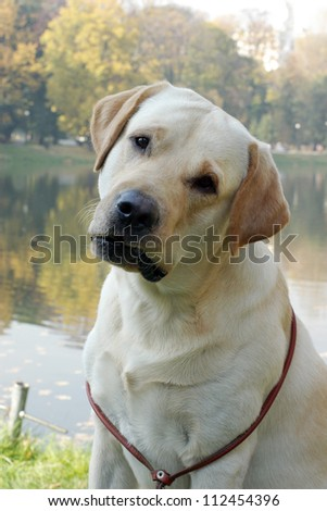 Yellow labrador retriever in the park near the pond