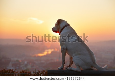 Yellow labrador retriever is looking at the sunrise - back lit