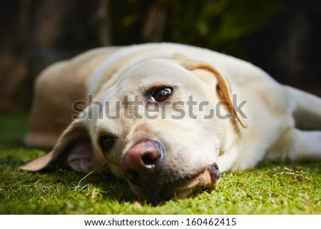 Yellow labrador retriever is lying on the grass - selective focus