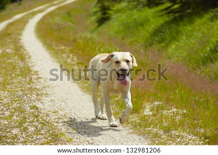 Yellow labrador retriever is running on the road.