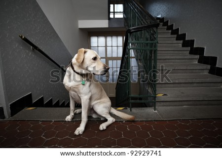 Yellow labrador retriever is sitting on the corridor in house. - stock photo