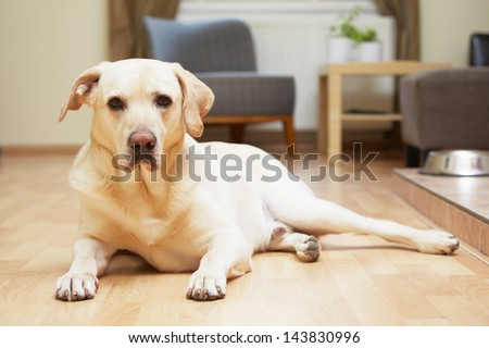 Yellow labrador retriever is waiting at home.