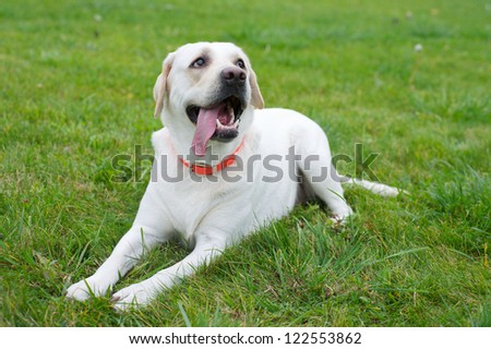 Yellow labrador retriever on green grass lawn - stock photo