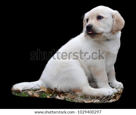 Yellow Labrador Retriever, only seven weeks old looking so cute and adorable