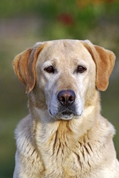 Yellow Labrador Retriever portrait, closeup