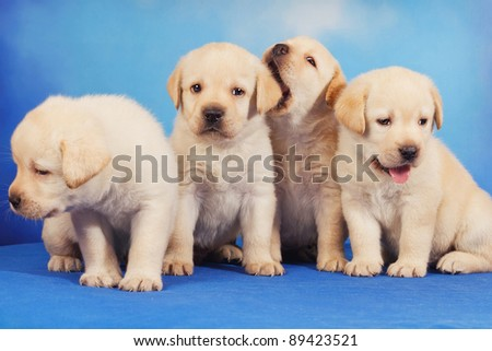 Yellow labrador retriever puppies on blue background