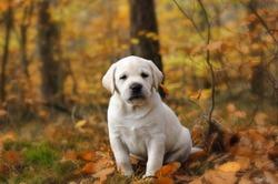 Yellow Labrador retriever puppy in autumn scenery