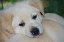 Yellow Labrador Retriever puppy with black nose and eyes resting head on mother's back