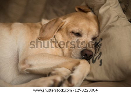 yellow Labrador retriever sleeping #1298223004