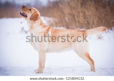 Yellow labrador retriever standing on a snowy path in the winter