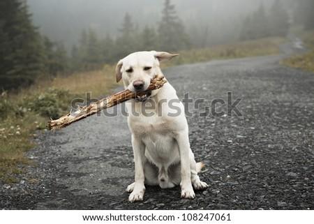 Yellow labrador retriever with stick - selective focus