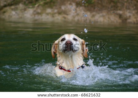 Yellow labrador swimming in a pond