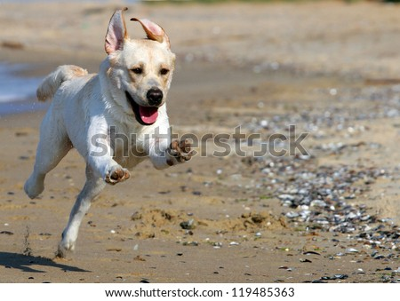 yellow labradors running to the sea in summer
