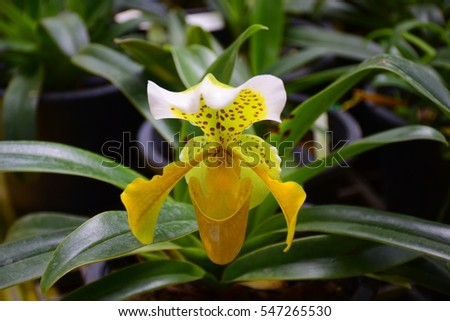 Yellow lady slipper orchid ez canvas yellow lady slipper orchid mightylinksfo