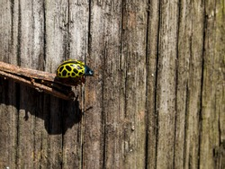 Yellow ladybug, mariquita leopardo (Calligrapha polyspila) on a stick with a wooden background. Buenos Aires, Argentina.