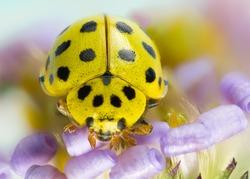 Yellow ladybug on light purple flower on a sunny day