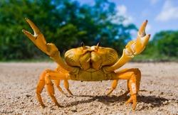 Yellow land crab. Cuba.