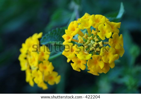 Yellow Lantana Crop 1
