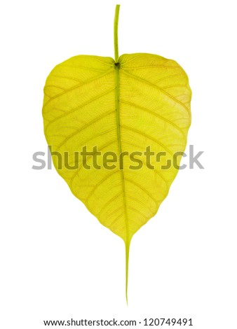 yellow leaf called Bodhi isolated on white background