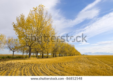 Yellow leaf trees in a Canadian wheat field. Autumn Season