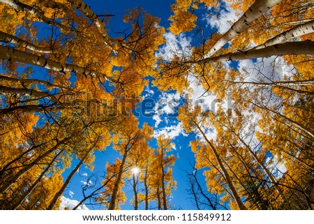 Yellow leaves aspens with blue sky