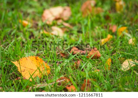 Yellow leaves in green grass is close #1211667811