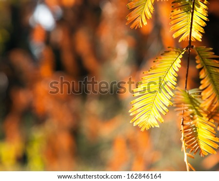 yellow leaves of Japanese tree s on a background of autumn park