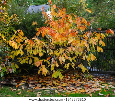 Yellow leaves of the common paw paw tree (asimina triloba) in the fall Stock photo ©