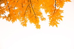 Yellow leaves on branches, isolated on white background. Autumn fall concept background.
